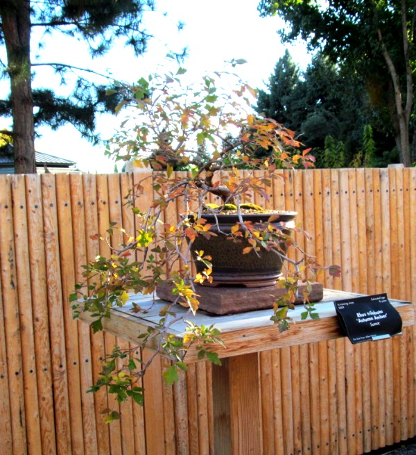 Rhus Trilobata - Autumn Amber Sumac Sumac112