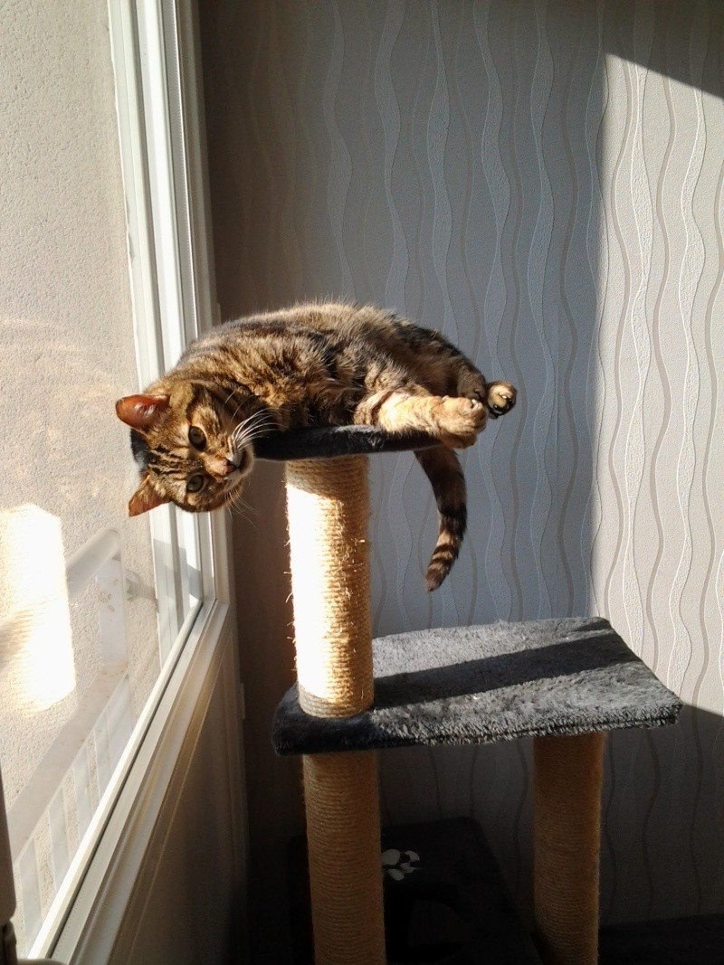 Basil,matou tigré environ 8ans, FeLV+, Adorable ++++ (54) 20140315
