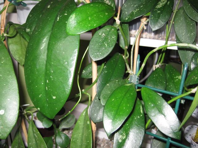 Hoya Gonoloboides oder Diversifolia? Frahja13