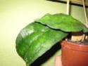 Hoya sp. IPPS 7945 - Seite 2 Herbst17