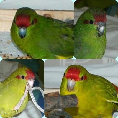 màle   ou femelle , ou couple Sujet ouvert pour patou 10003010