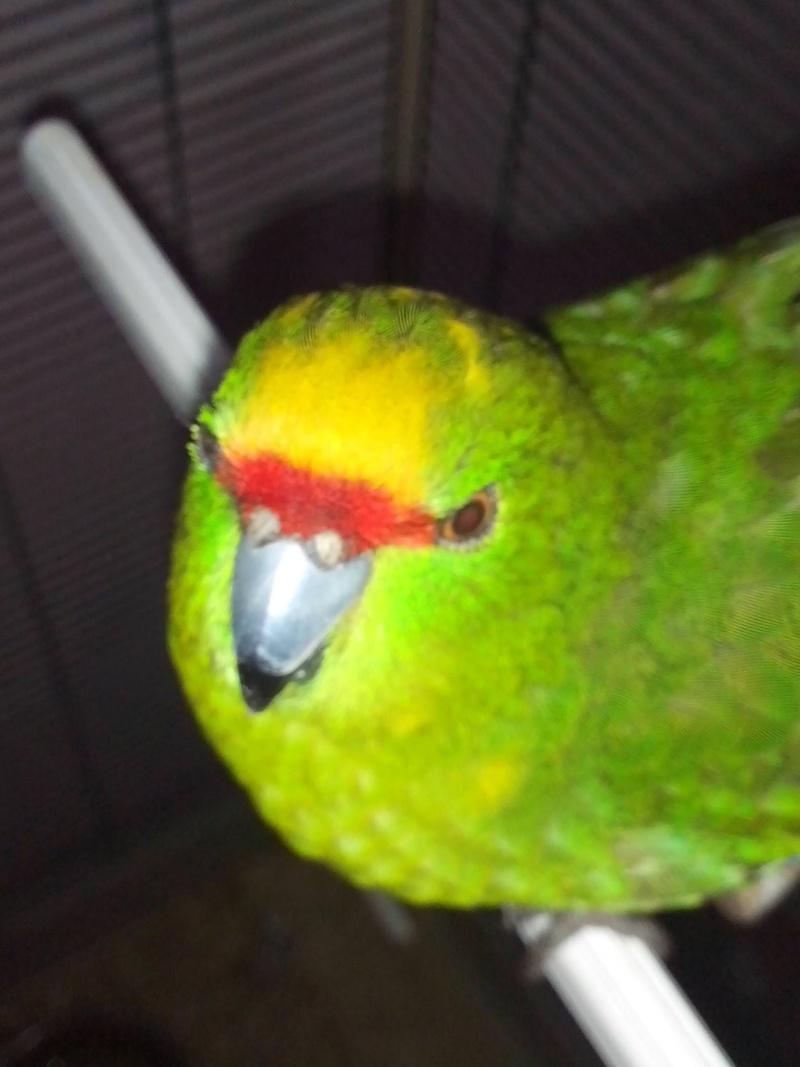 Photo posté pour Manu62 de son Kak jaune mâle ou femelle ??  14031613