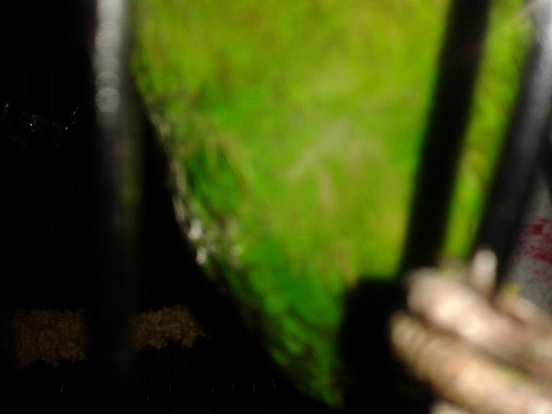 Perte de plume  du petit que j ai vendu à Anna  20131212