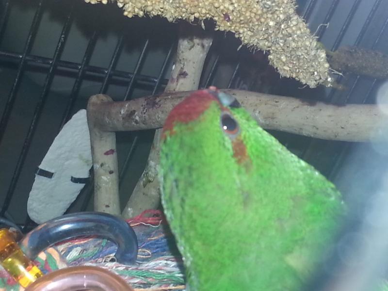 Verdi est il vraiment un mâle  20131215