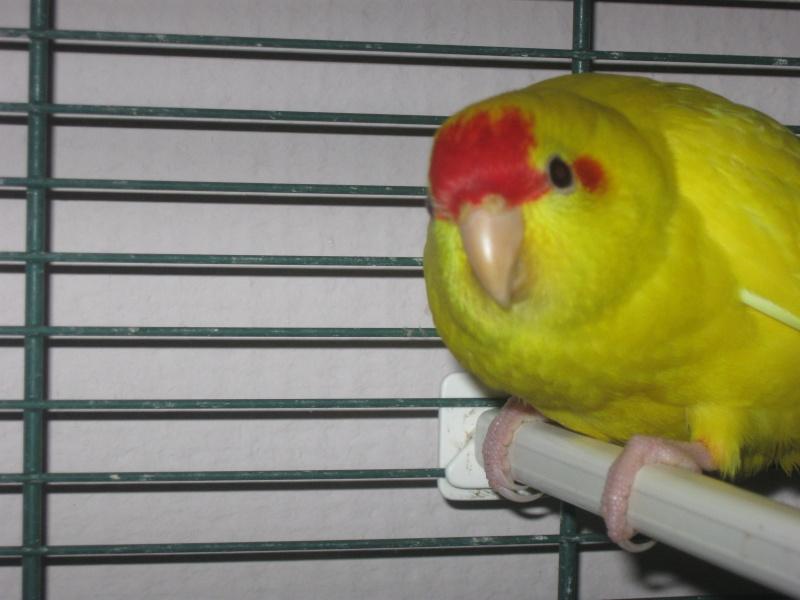 Photo posté pour Manu62 de son Kak jaune mâle ou femelle ??  Img_0310