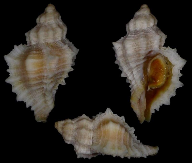 Ocenebra hispidula - (Pallary, 1904) 20131111