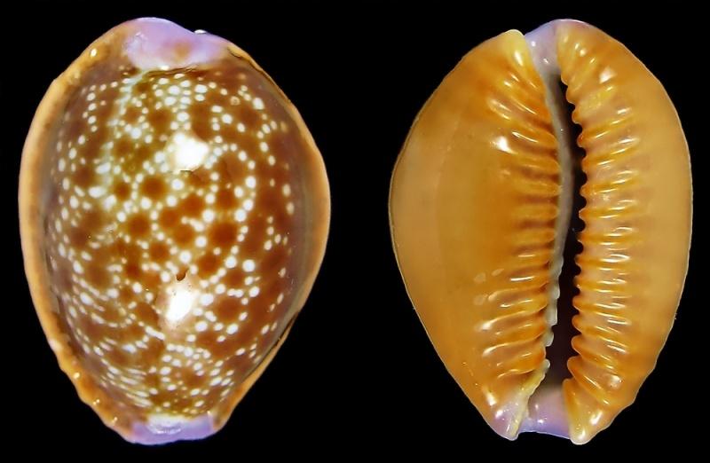 Naria helvola hawaiiensis - (Melvill, 1888) 510