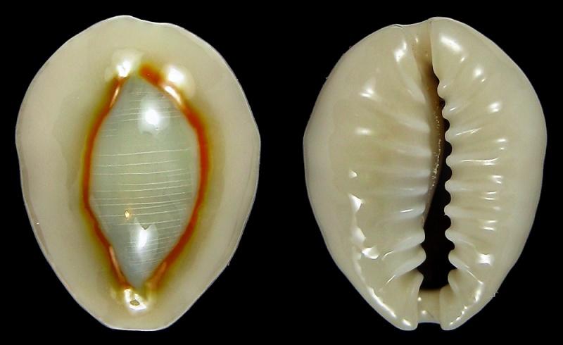 Monetaria annulus sublitorea - Lorenz, 1997 810
