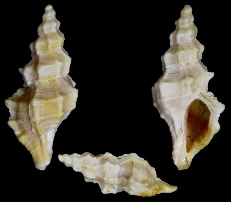 Ocenebra hispidula - (Pallary, 1904) Img_0011