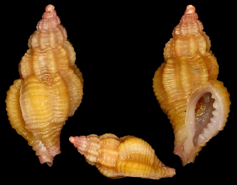 Coralliophila meyendorffii - (Calcara, 1845) Img_0610