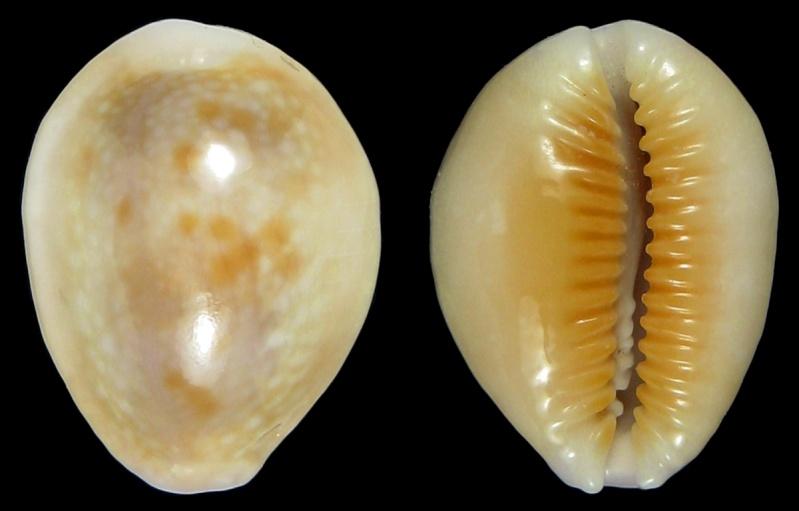 Naria helvola hawaiiensis - (Melvill, 1888) Img_1610