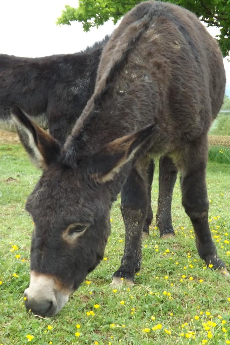 (dpt 71) A ADOPTER, MILAN et ZADIG, ânes communs, en famille d'accueil chez Charly71 - Page 2 Ag_20126