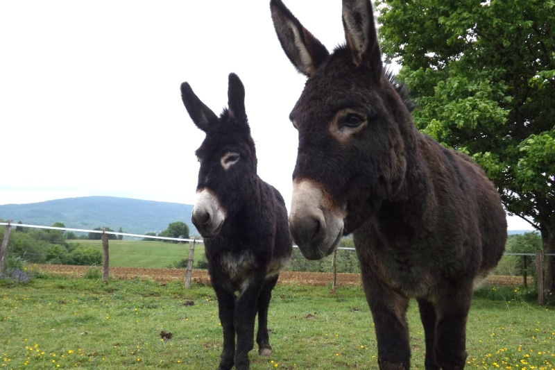 (dpt 71) A ADOPTER, MILAN et ZADIG, ânes communs, en famille d'accueil chez Charly71 - Page 3 Ag_20130