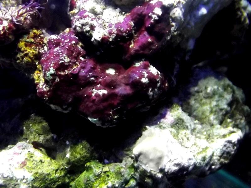 Mon Nano Récif 30 litres - Passage AquaMedic Blenny P.10 Dscf0010