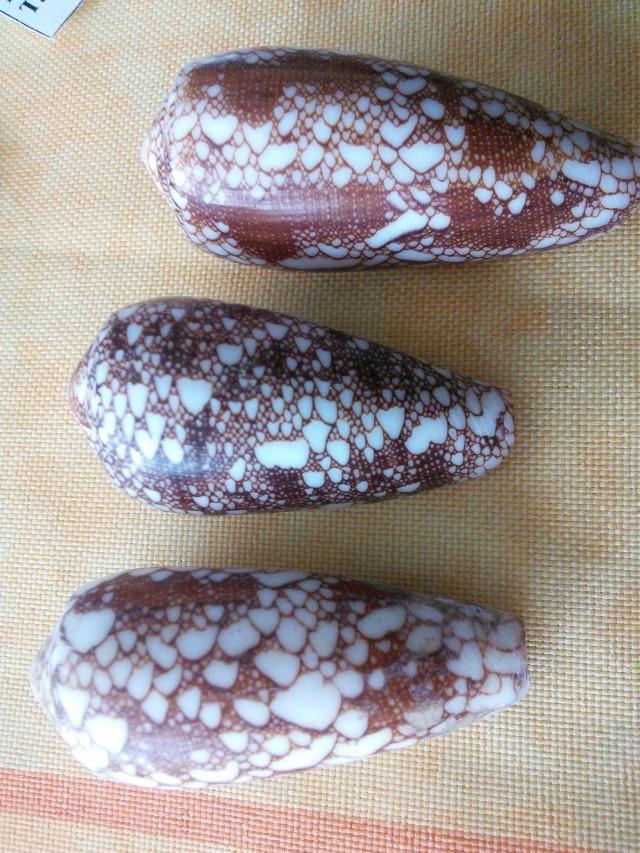 Conus omaria ??  Img_2013
