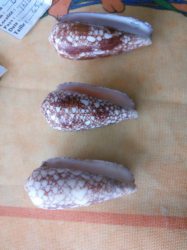 Conus omaria ??  Img_2014