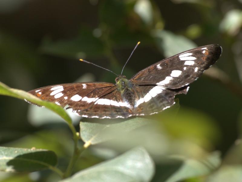 [Petit sylvain (Limenitis camilla)] Petit sylvain? 10070610