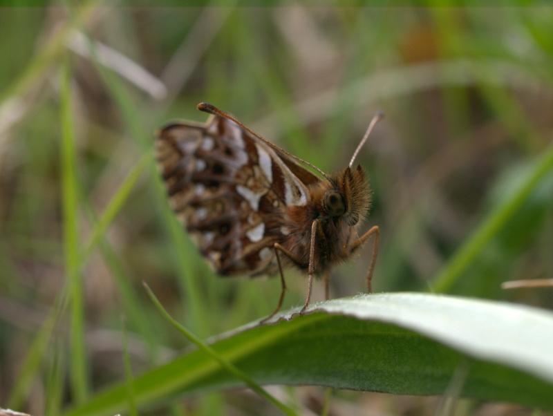 Premières observations de papillons en 2014 20140410