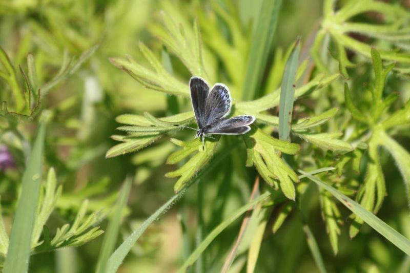 Premières observations de papillons en 2014 - Page 3 Img_8910