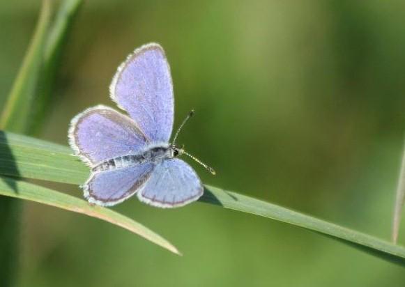 Premières observations de papillons en 2014 - Page 3 Img_8913