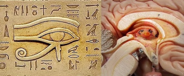 Pineal Gland, Anyone? Pineal12