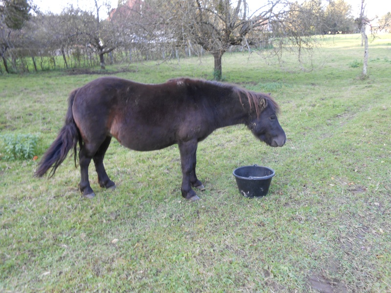 REGLISSE - ONC poney typée Shetland née en 2000 - adoptée en novembre 2013 par Solenn - Page 3 Dscn0110