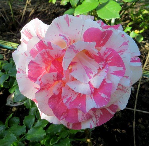 Rosa 'Alfred Sisley' Alfred11