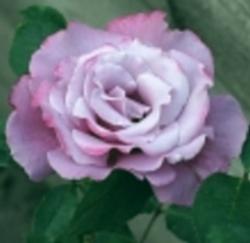 rosier amétista Amatis10