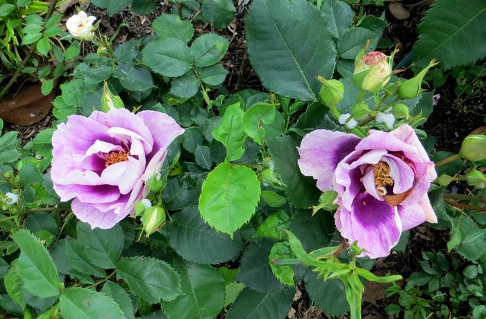Rosa 'Blue Eyes' !!! Blue_e12