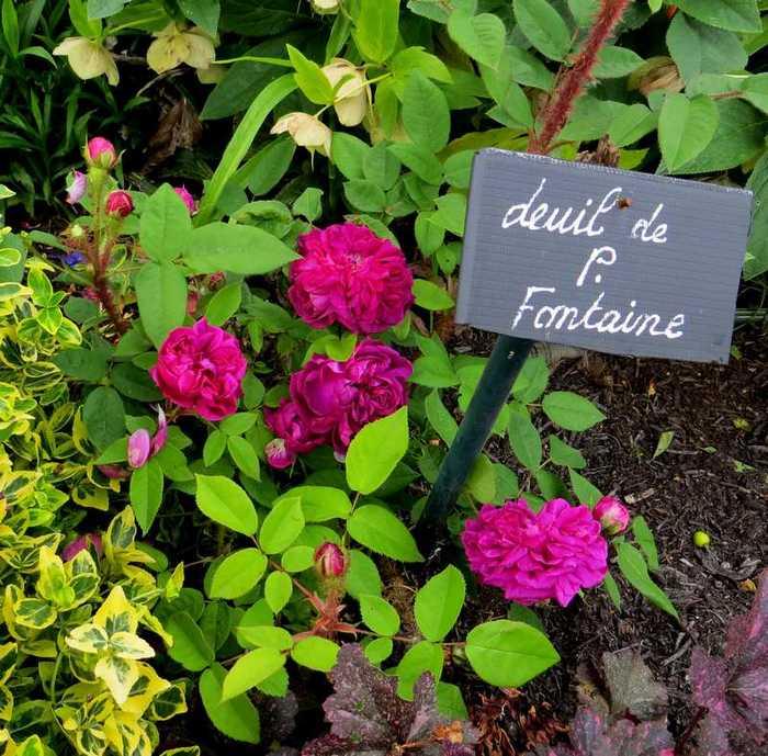 rosier deuil de Paul Fontaine Deuil_13