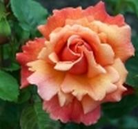 rosier Easy does it Easy_d11