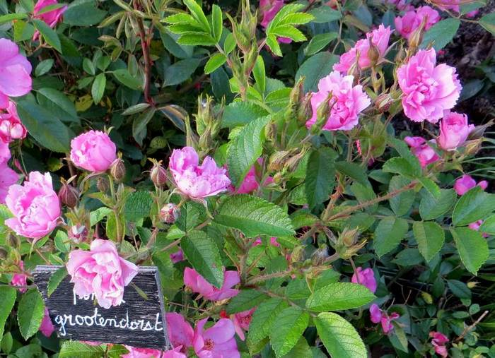Rosa 'Pink Grootendorst' !!! - Page 2 Groote11