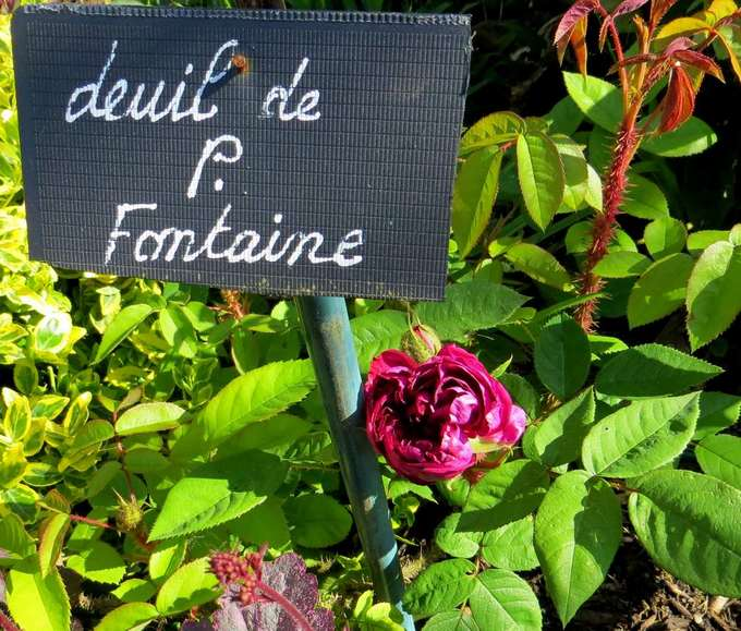 rosier deuil de Paul Fontaine Img_1862