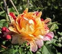 rosier Nimet Nimet11