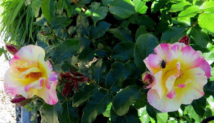 rosa olivier rollinger - Page 2 O_roll12