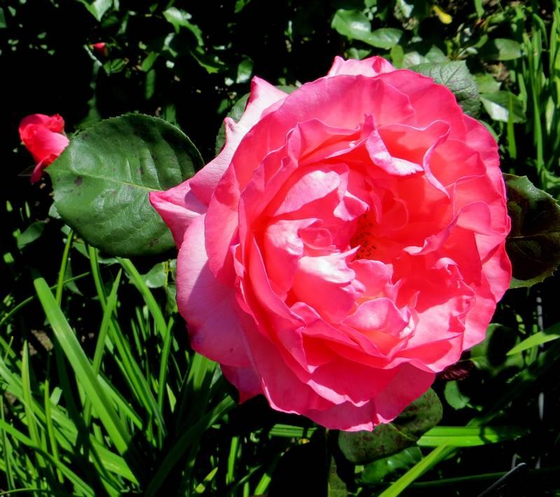 rosa panthère rose - Page 2 Pantha13