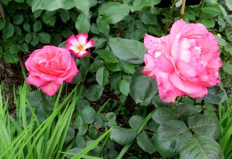 rosa panthère rose - Page 2 Pantha15