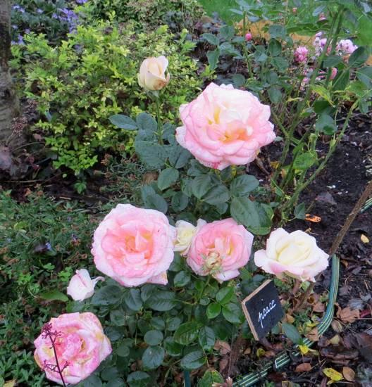 rosa peace Peace10