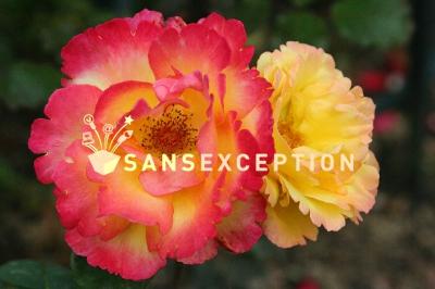 rosier émeraude d'or Thumb210