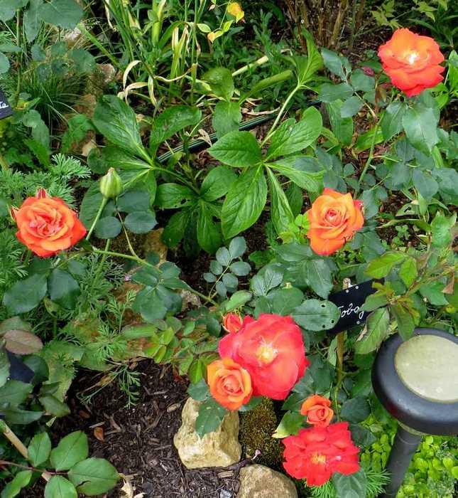 rosier buisson tobago Tobago11