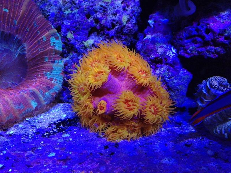 Unjall Acrylic Reef, mon petit récif (scolymia p.8) Image14