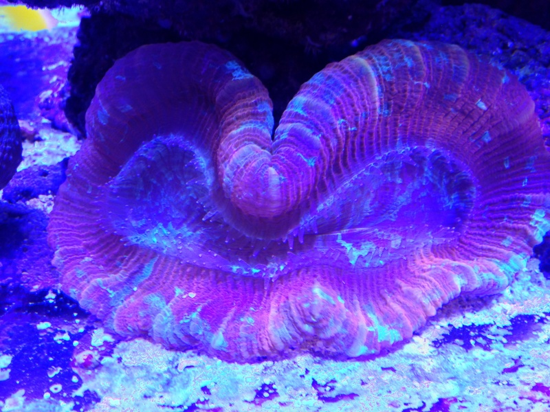 Unjall Acrylic Reef, mon petit récif (scolymia p.8) Image15