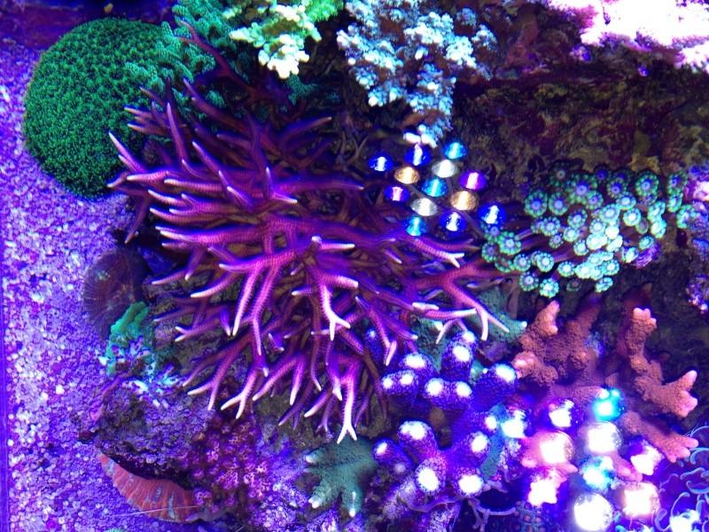 Unjall Acrylic Reef, mon petit récif (scolymia p.8) Image16