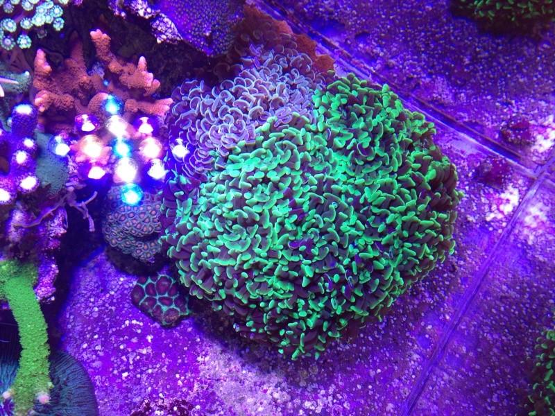 Unjall Acrylic Reef, mon petit récif (scolymia p.8) Image17