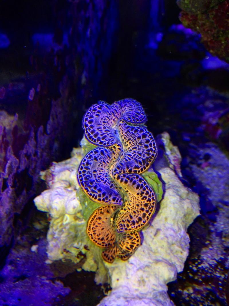 Unjall Acrylic Reef, mon petit récif (scolymia p.8) Image21