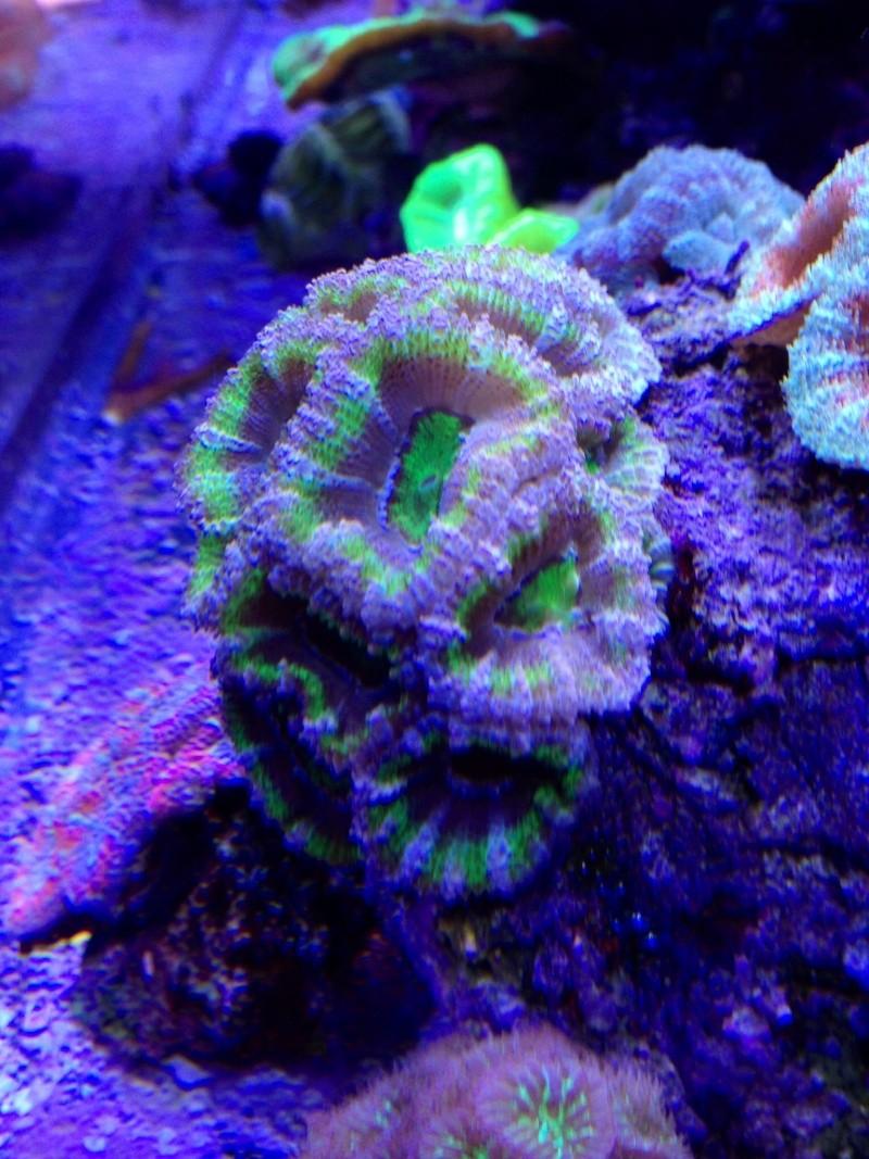 Unjall Acrylic Reef, mon petit récif (scolymia p.8) Image27