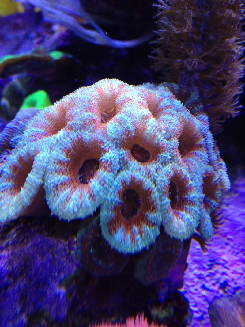 Unjall Acrylic Reef, mon petit récif (scolymia p.8) Image28