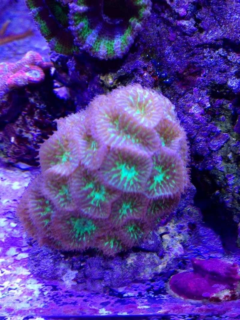 Unjall Acrylic Reef, mon petit récif (scolymia p.8) Image29