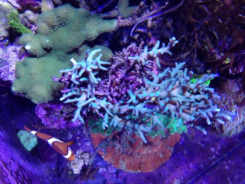 Unjall Acrylic Reef, mon petit récif (scolymia p.8) - Page 4 Image58