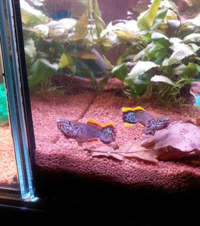 ma pièce à poissons,crevettes et écrevisses. 20131118